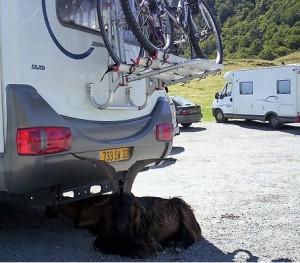 Un pacífico macho cabrío pirenaico tan tranquilo a la sombra de una autocaravana.